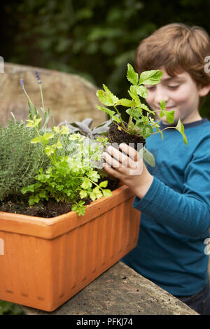 Boy planting herbs in container, including lavender, rosemary, coriander, close-up - Stock Photo