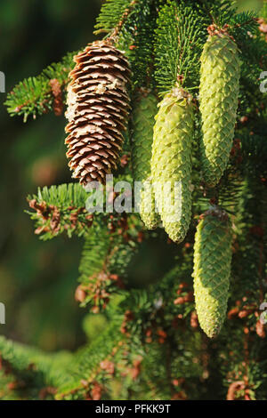 brown and green cones with resin on a spruce tree - Stock Photo