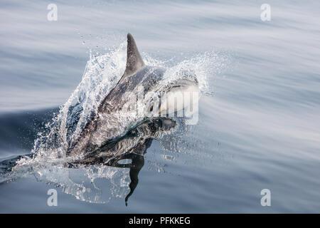 An agile Short-Beaked Common dolphin, Delphinus delphis, swims in the north Atlantic Ocean off Cape Cod, Massachusetts. - Stock Photo
