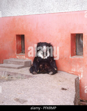 Sloth bear (Melursus ursinus) sitting up against a wall, front view - Stock Photo