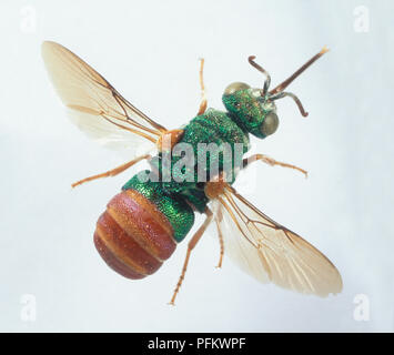 Jewel Wasp or Emerald Cockroach Wasp (Ampulex compressa), with green and brown body and translucent wings, close-up - Stock Photo