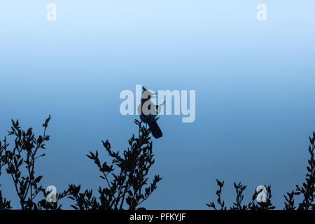 Loud, raucous stellar blue jay perched on oak branches silhouetted in evening twilight, horazontal formatatellar - Stock Photo