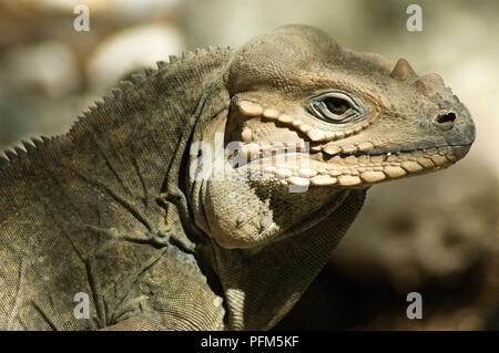 Dominican Republic, Lago Enriquillo, Isla Cabritos, Rhinoceros iguana (Cyclura cornuta) in profile - Stock Photo