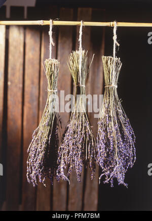 Lavandula, three bunches of Lavender hung for drying. - Stock Photo