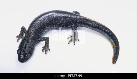 Great Crested Newt (Triturus cristatus), view from above, close up - Stock Photo