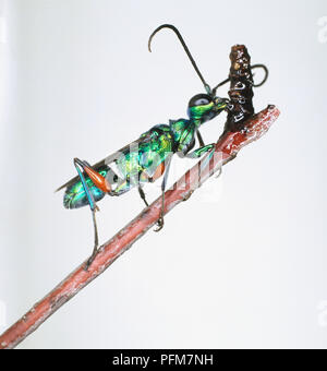 Cockroach-hunting or Jewel Wasp, Ampulex compressa, on a stick. - Stock Photo
