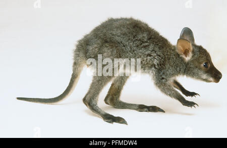 Red-necked Wallaby joey, macropus rufogriseus, crouching forward, side view. - Stock Photo