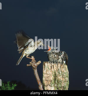 Common Cuckoo, cuculus canorus, chick perched on wooden stump being fed by adult Pipit, motacillidae. - Stock Photo