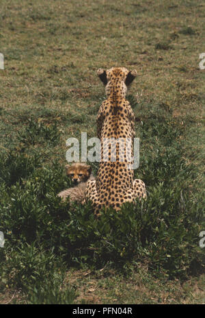 Africa, Tanzania, Serengeti National Park, rear view of adult Cheetah (Acinonyx jubatus) sitting in grass with a baby cheetah looking in opposite direction. - Stock Photo