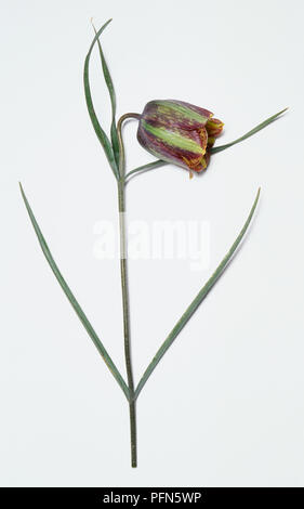 Fritillaria messanensis lily slender green - brown plant with striped green-brown bulb. - Stock Photo