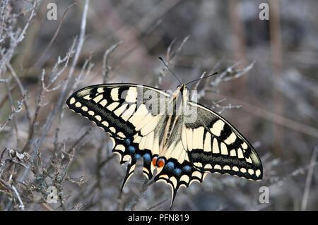 Old World Swallowtail (Papilio machaon) Machaon - Grand porte-queue - Stock Photo