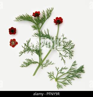 Adonis annua (Pheasant's eye), stems with small green leaves and red flowers - Stock Photo