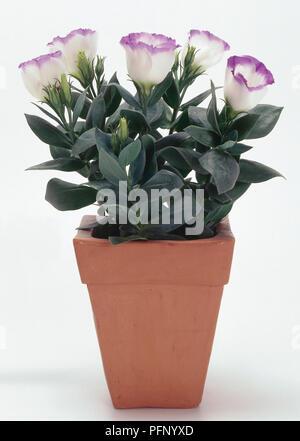 Prairie Gentian, Eustoma grandiflorum, in a plant pot. - Stock Photo