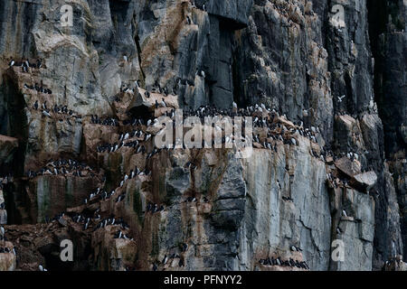Colony of thick-billed murres at Alkefjellet, Svalbard, Norway - Stock Photo