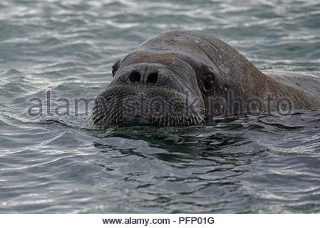 Walrus (Odobenus rosmarus),  in sea at Torellnesfjellet, Nordaustlandet, Svalbard, Norway - Stock Photo