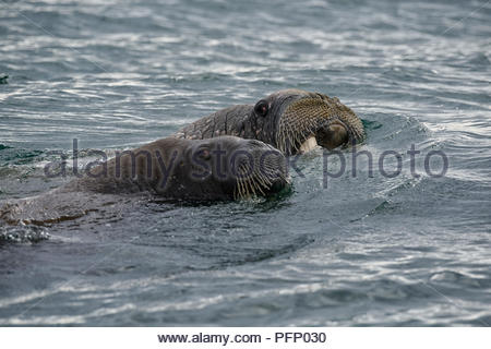 Walrus (Odobenus rosmarus),  in sea at Torellnesfjellet, Nordaustlandet, Svalbard, Norway - Stock Photo