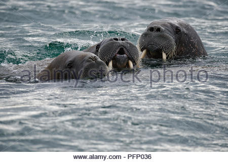 A group of walruses in sea at Torellnesfjellet, Nordaustlandet, Svalbard, Norway - Stock Photo