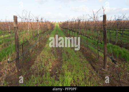 path through bare grapevines in a vineyard in Winter at Groot Constantia wine estate in Cape Town South Africa - Stock Photo