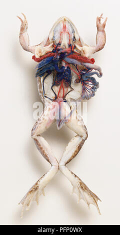 Internal anatomy of frog, dissected with its internal organs hanging out of its belly. - Stock Photo