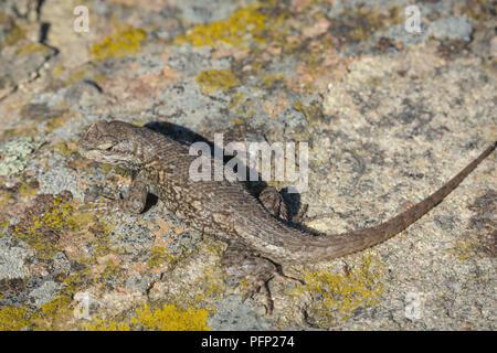 Plateau Lizard (Sceloporus undulatus), Gateway Mesa Open Space Park, Castle Rock Colorado US. - Stock Photo