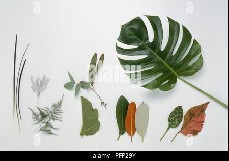 Selection of leaves including Grasses, Pyrethrum, Asparagus, Gunnera, Eucalyptus, three varieties of Rhododendron, Lungwort, Joseph's Coat, and Swiss Cheese Plant - Stock Photo