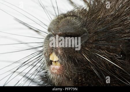 Crested porcupine (Hystrix cristata), close-up on nose and teeth - Stock Photo