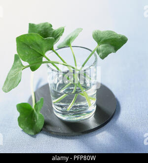Fresh sprigs of French sorrel in glass of water - Stock Photo