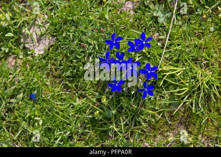 gentian (Gentiana), Kanzelwand, Riezlern, little Walser valley, Austria - Stock Photo