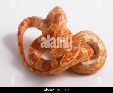 Coiled Corn Snake or Red Rat Snake (Elaphe guttata) - Stock Photo