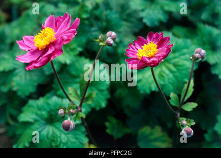 Anemone hupehensis var. japonica 'Prinz Heinrich' (Windflower), perennial showing two long-stalked, dark pink flowers with yellow at centre, and buds with green leaves. - Stock Photo