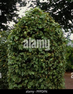 Shaped Carpinus betulus (Hornbeam) hedge - Stock Photo