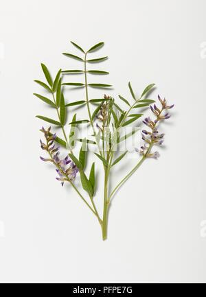 Emerging purple Glycyrrhiza glabra (Liquorice) flowers, and green leaves on stem - Stock Photo