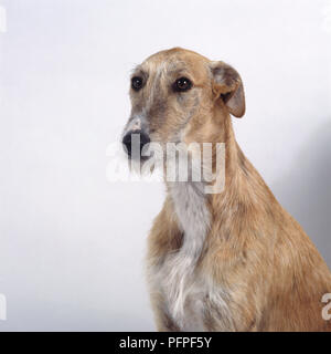 Gold and white wire-haired Galgo Espanol (Spanish Galgo) or Spanish greyhound - Stock Photo