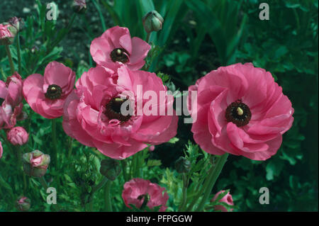 Ranunculus asiaticus (Persian buttercup), pink flowers, close-up - Stock Photo