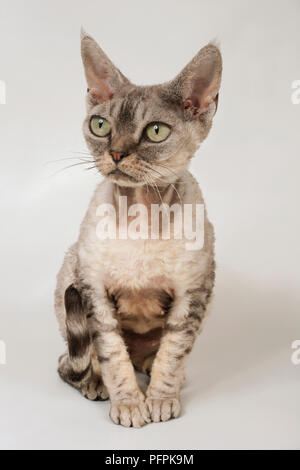 Devon Rex cat - Stock Photo