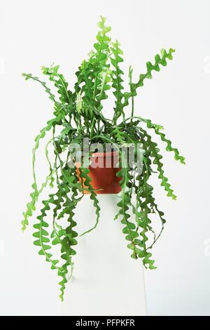 Fishbone cactus in pot - Stock Photo