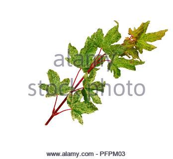 Acer Campestre Pulverulentum Field Maple Palmately Lobed
