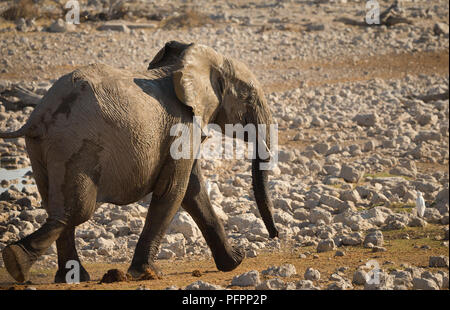 elephant (Loxodonta africana) running or at a trot catching up to the others at Okaukuejo waterhole in Etosha National Park Namibia - Stock Photo