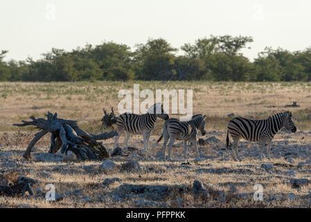 Three burchell's Zebras in evening sun and golden glowing grass, Etosha National Park, Namibia - Stock Photo