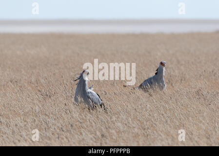 A pair of grey secretary birds looking for prey to hunt in yellow grass savannah with white desert plain in the background, Etosha National Park, Nami - Stock Photo