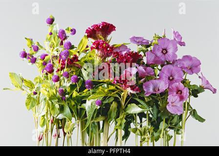Display of purple and dark pink flowers from Gomphrena globosa (Globe amaranth), Celosia argentea var cristata (Cockscomb), Lavatera trimestris 'Silver Cup' (Rose mallow) - Stock Photo