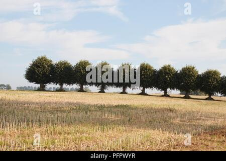 Germany, Mecklenburg-Vorpommern state, Wismar Bay, Insel Poel (Poel Island), row of trees in a field - Stock Photo