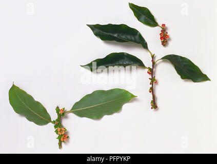 Diospyros lotus (Date plum), stem with leaves and flowers - Stock Photo