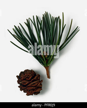 Sciadopitys verticillata (Japanese Umbrella-pine, Koyamak) stem with long green needle-like leaves, male flower cluster, and brown cone - Stock Photo