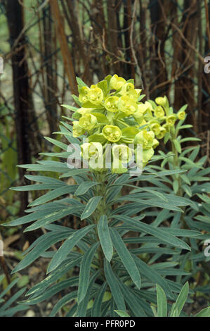 Euphorbia sp. (Spurge), leaves and yellow flowerhead - Stock Photo