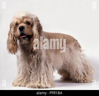 Buff American Cocker Spaniel Dog standing - Stock Photo