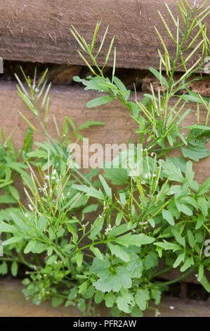 Cardamine hirsuta (Hairy bittercress) growing through the gaps in a wooden fence - Stock Photo