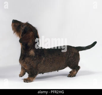 Female brown Wire Haired Dachshund dog standing, looking up - Stock Photo