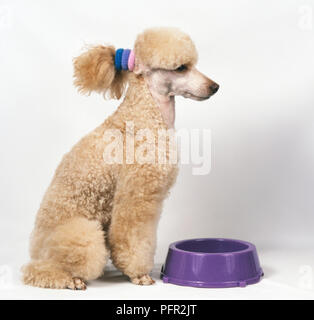 Trimmed apricot Standard Poodle with ears tied behind head to protect from hanging in purple pet bowl - Stock Photo