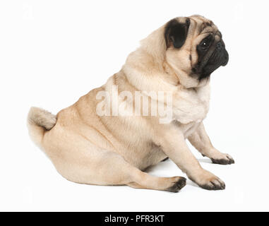 Pug, 2-3-year-old male dog - Stock Photo